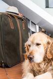 Golden Retriever travel departing Stock Image
