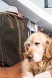 Golden Retriever travel departing Stock Image