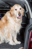 Golden Retriever Trip Stock Photos