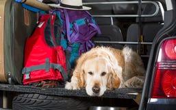 Golden Retriever Trip royalty free stock photos