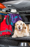 Golden Retriever Trip Stock Photography