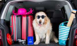 Golden Retriever Trip. Golden Retriever in the boot of the car ready to leave home stock photography