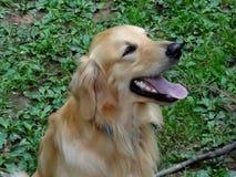 Golden retriever twarzy profil Zdjęcia Royalty Free