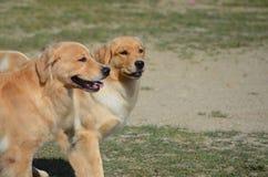 Golden Retriever Twins!. Twin golden retriever dogs walking together Stock Photo