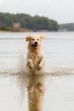 Golden retriever tycker om sjön Arkivbilder