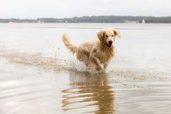 Golden retriever tycker om sjön Arkivfoto