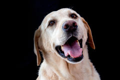 Golden Retriever uśmiech obraz stock