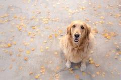 Golden retriever umgeben durch Herbstlaub Stockfotos