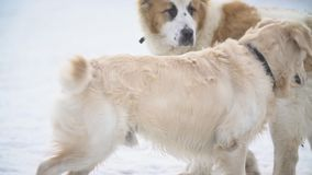 Golden retriever- und Alabai-Hundespiel stock footage