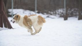 Golden retriever- und Alabai-Hundespiel stock video footage