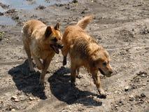 Golden retriever und Schäferhund lizenzfreie stockfotos