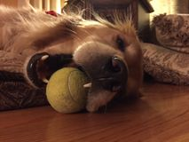 Golden retriever und Tennisball Lizenzfreie Stockbilder