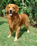 Golden retriever up. Pure breed golden retriever standing up royalty free stock image