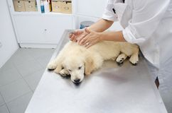 Golden retriever at vets Stock Image