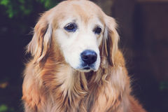 Golden retriever with vintage color effect. Close up golden retriever with vintage color effect Stock Photo