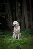 Golden retriever w lesie Obraz Royalty Free