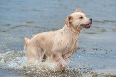 Golden retriever w wodzie Zdjęcie Stock