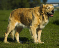 Golden Retriever Waiting For Command. Beautiful golden retriever standing and waiting for command Royalty Free Stock Photos