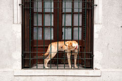 Golden Retriever waiting for his master Royalty Free Stock Photo