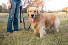Golden Retriever walk on long lead at the park. A Golden Retriever walk on long lead at the park Royalty Free Stock Photos