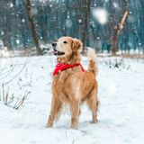 Golden retriever walk in the park Royalty Free Stock Image