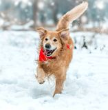 Golden retriever walk in the park Stock Photography