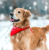 Golden retriever walk in the park Stock Images