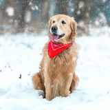 Golden retriever walk in the park. Young golden retriever sitting at the snow in winter park Stock Photo