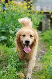 Golden retriever walking Stock Photo
