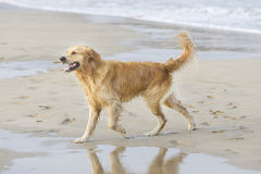 Golden retriever walking. On the beach with a stick Stock Photos