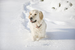 Golden retriever walking. Golden retriever in the snow Royalty Free Stock Photo