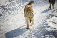 Golden retriever walking. In the snow Stock Images