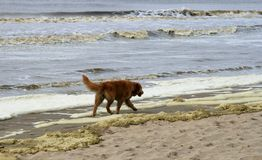 Golden retriever walking along the sea Royalty Free Stock Photography