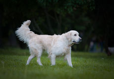 Golden retriever walking Royalty Free Stock Images