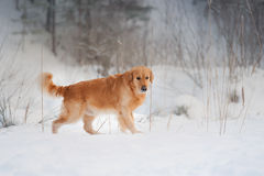 Golden retriever walking in snow forest Royalty Free Stock Photo