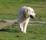 Golden Retriever Walking Royalty Free Stock Photos