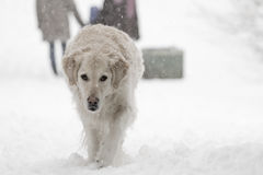 Golden Retriever. Is walking at winter time Stock Photography