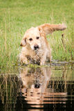 Golden retriever walkking w wodzie obraz royalty free