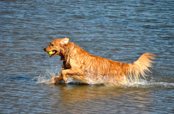 Golden Retriever in Water Royalty Free Stock Photo
