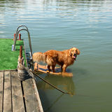 Golden retriever by water Royalty Free Stock Photos
