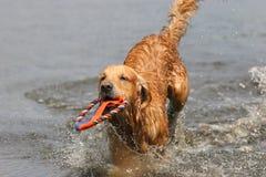 Golden retriever in water Royalty Free Stock Photos