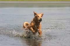 Golden retriever in water Stock Images