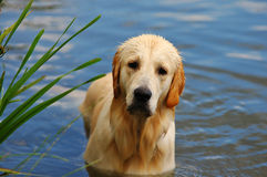 Golden Retriever in water Royalty Free Stock Image