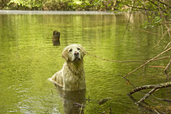 Golden retriever in the water Royalty Free Stock Photos