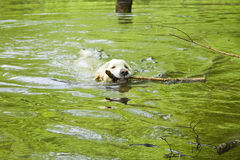 Golden retriever in the water Royalty Free Stock Photo