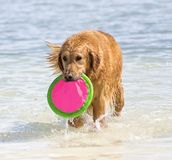Golden retriever at water play. Pet retriever coming ashore with frisbee Stock Photo