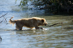 Golden Retriever in water Royalty Free Stock Photos