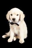 Golden Retriever Wearing Bow Tie Stock Photos