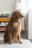 Golden Retriever wearing medals