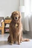 Golden Retriever wearing medals Stock Image